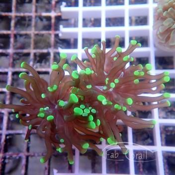 Euphyllia bicolor sp euphy885