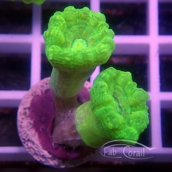 Caulastrea vert fluo 3 têtes caula188