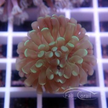 Euphyllia sp euphy882