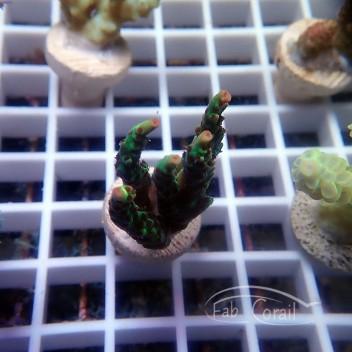 Acropora sp australie acro2066