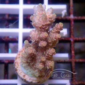 Acropora hyancinthus australie acro2073