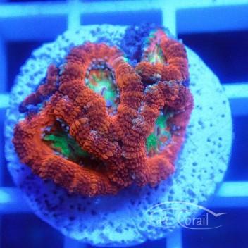 Acanthastrea lordhowensis ultra AL1477