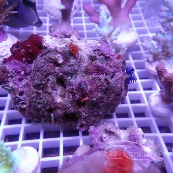 Porites à spirograhes multicolor