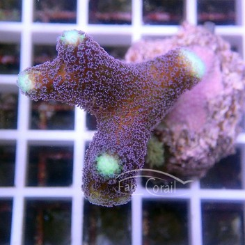 Stylophora milka stylo361
