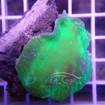 Sinularia dura vert sinu96
