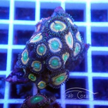 Zoanthus Indonésie Z550
