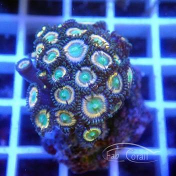Zoanthus Indonésie Z558