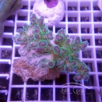 Pocillopora tricolor pocillo151