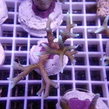 Seriatopora hystrix bicolor SH310