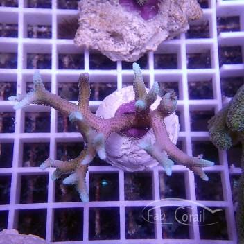 Seriatopora hystrix bicolor SH311