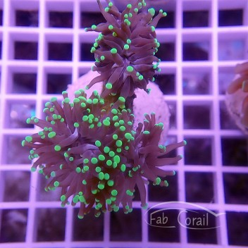 Euphyllia sp euphy908