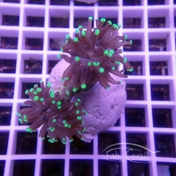 Euphyllia sp bicolor euphy910
