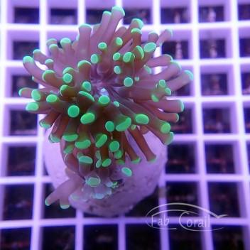 Euphyllia sp bicolor euphy911