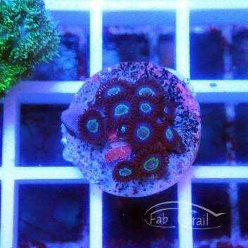 Zoanthus mix vietnam Z569
