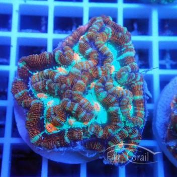 Australophyllia wilsoni wilsoni75
