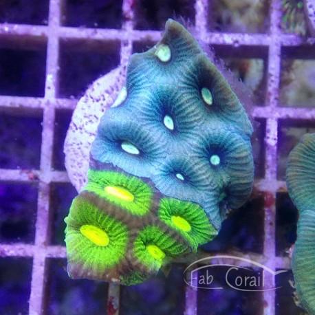 Goniastrea bicolor RARE gonia41