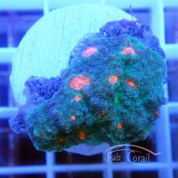 Echinophyllia bouche rose echino96