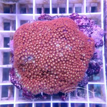 Bernardpora rouge et jaune gonio202