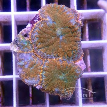 Rhodactis bicolor disco196