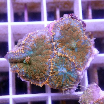 Rhodactis bicolor disco199