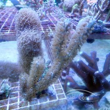 Gorgone symbiotique briareum gorgone92