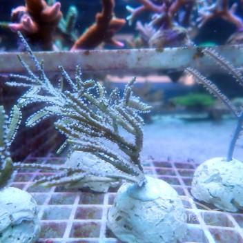 Gorgone symbiotique pseudopterogorgia gorgone96