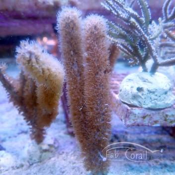 Gorgone symbiotique pterogorgia gorgone97