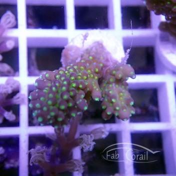 Acropora valida tricolor Indonésie acro2507