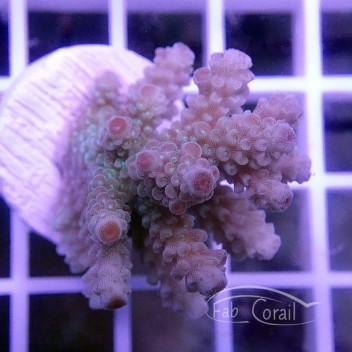 Acropora floridae Indonésie acro2528