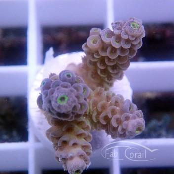 Acropora tenuis special filtre acro2573