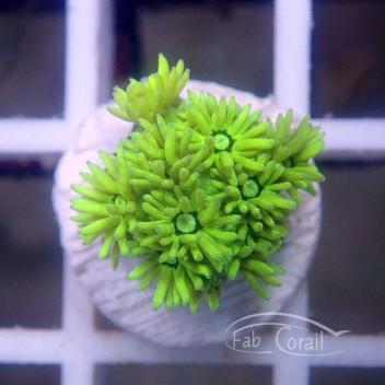 Goniopora jaune gonio211