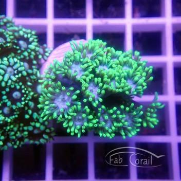 Goniopora vert gonio213