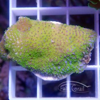 Montipora tuberculosa violet polype vert monti883
