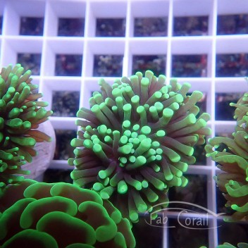 Euphyllia glabrescens euphy980