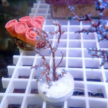 Gorgone non symbiotique Acalycigorgia