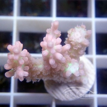 Acropora microclados strawberry shortcake acro2612