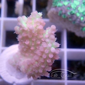 Acropora microclados strawberry shortcake acro2613