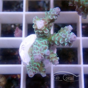 Acropora tenuis bleu australie acro2626