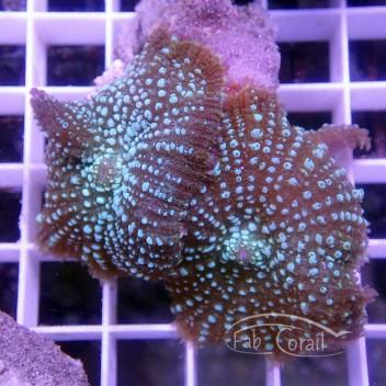 Rhodacthis inchoata disco212