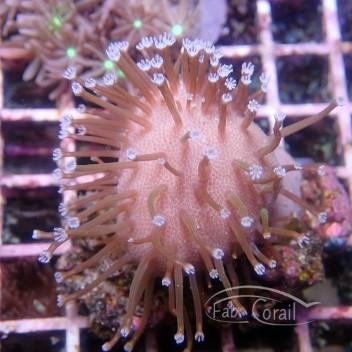 Sarcophyton polype blanc sarco163