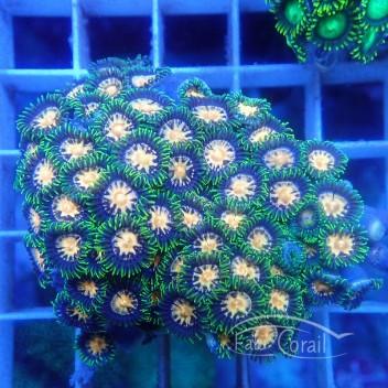 Zoanthus teal circle Z651