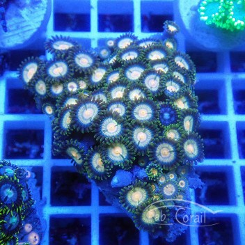 Zoanthus mix vietnam Z666