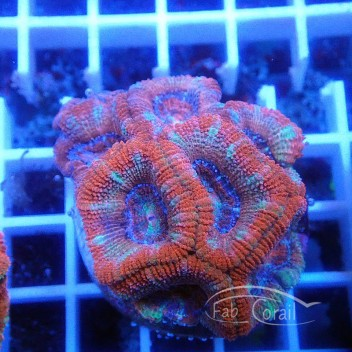 Acanthastrea lordhowensis AL1578