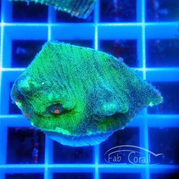 Echinophyllia chalice rainbow ultra