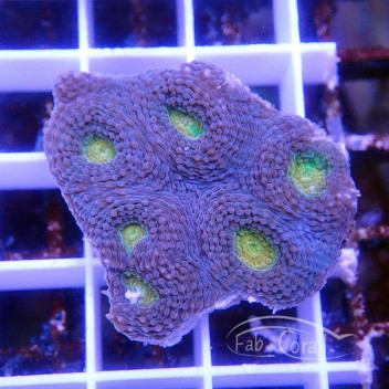 Acanthastrea echinata echinata49