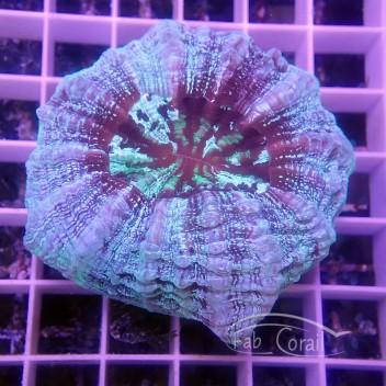 Acanthophyllia deshayesiana acantho36