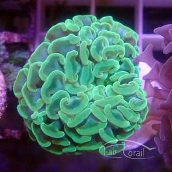 Euphyllia parancora vert euphy1056