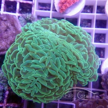 Euphyllia parancora vert euphy1057