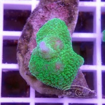 Rhodacthis mussoides verte disco176