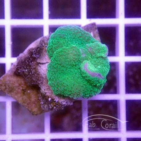 Rhodacthis mussoides verte disco226
